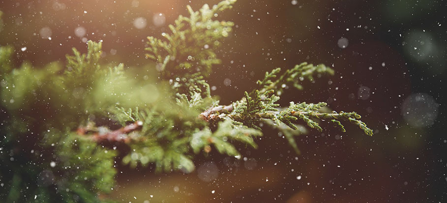Photo of Christmas Tree Branch