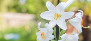How to Clean Lily Pollen Stains from Fabrics
