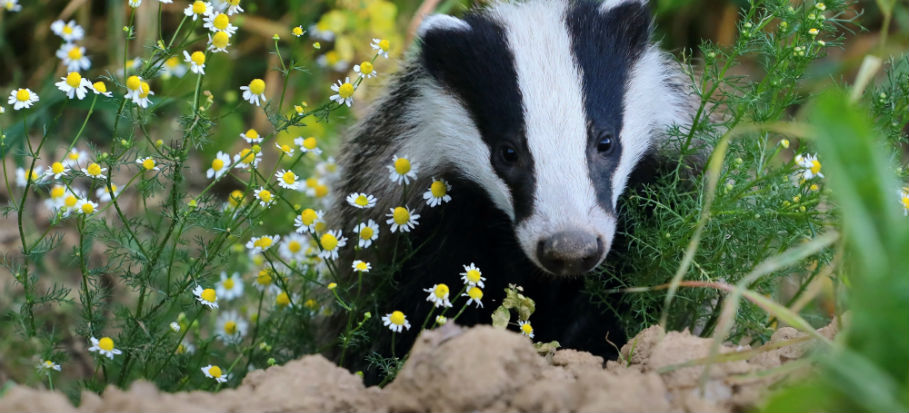 Just How to Put a STOP to Badgers Digging Up the Lawn of Your Dreams