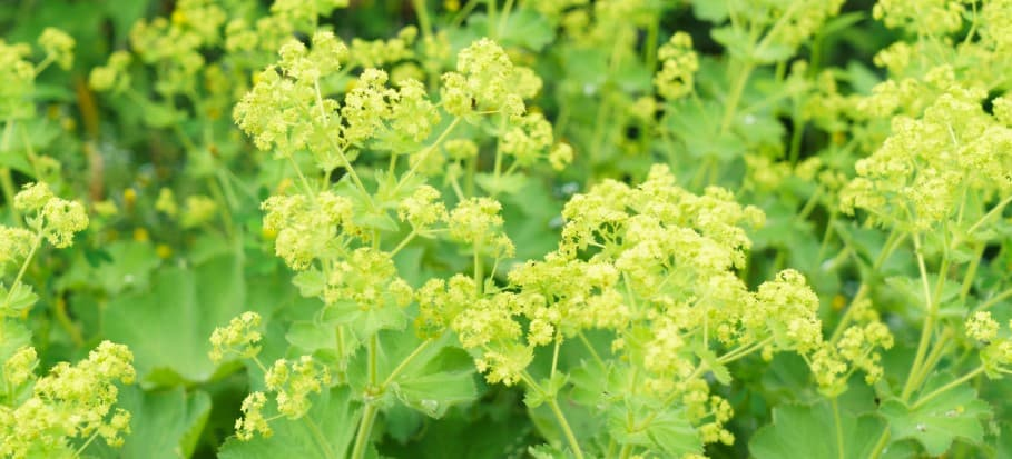 Garden Lady's mantle