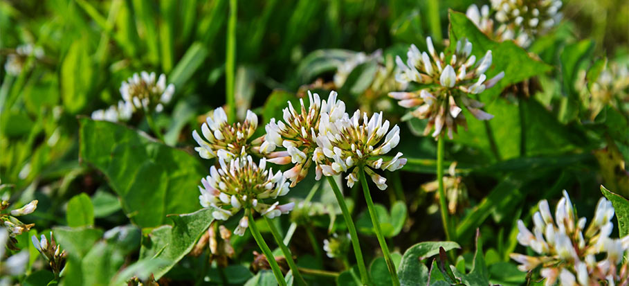 White (Dutch) clover