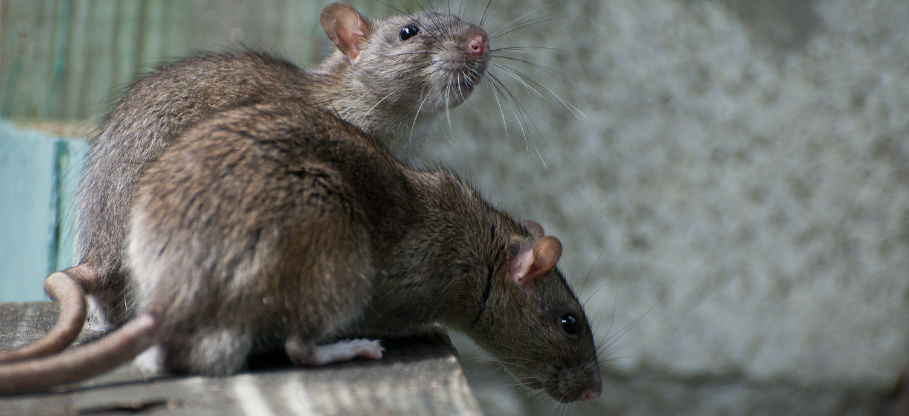 How to Get Rid of Rats at Home