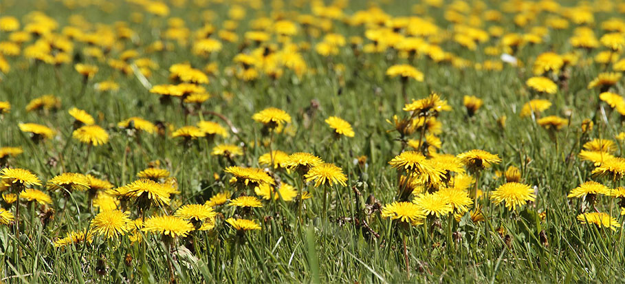 how to remove dandelions
