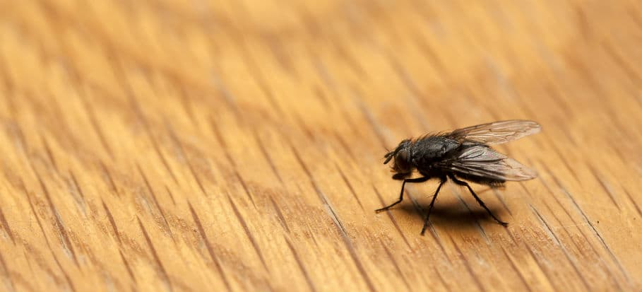 How to get rid of bugs - flies