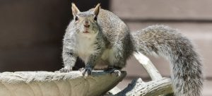 how to get rid of squirrel in loft