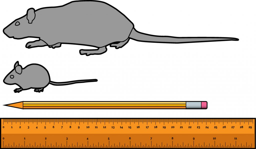 Mice and rats difference in size.