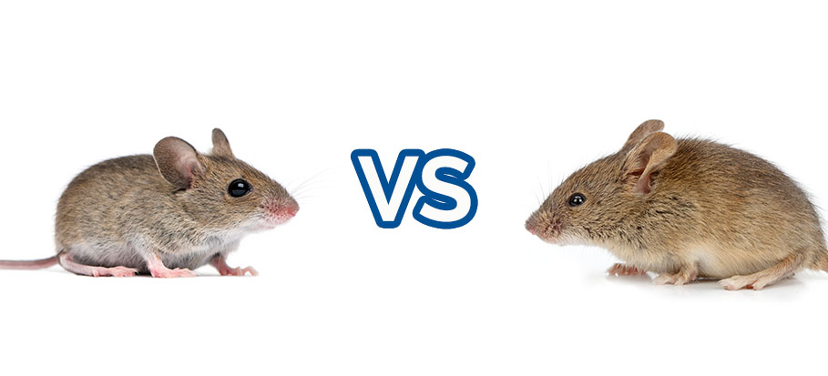 house mouse and field mouse on white background