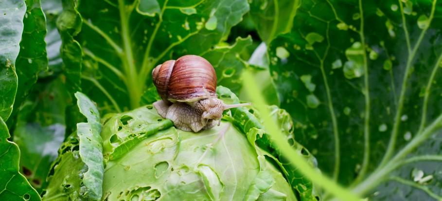 Garden pest snail on cabbage