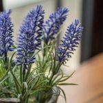 growing lavender in pots