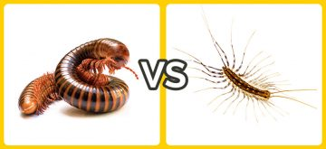 centipede vs millipede